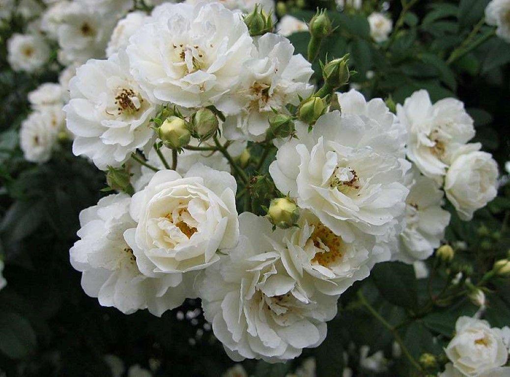 Las Rosas Blancas Y Su Significado Orígenes De Las Rosas Blancas