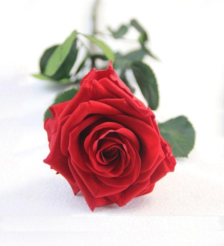 Rosa eterna de color roja