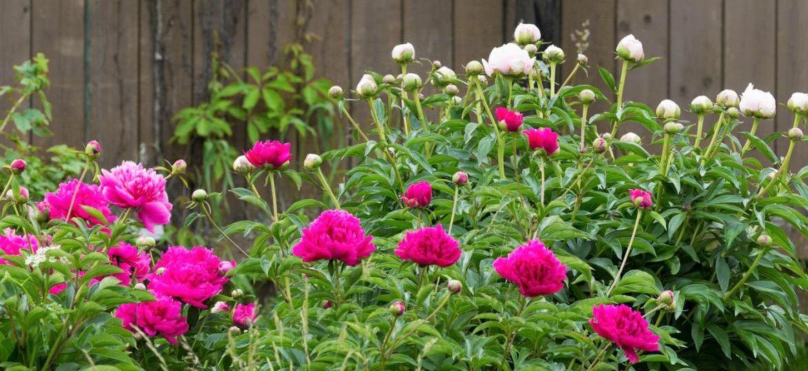 Jardines con peonias
