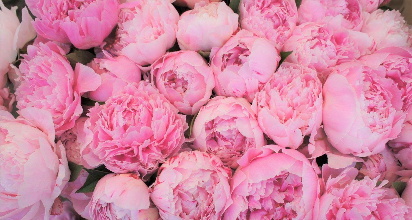 Peonias color rosas