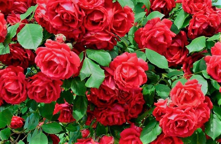 Rosales Rojos