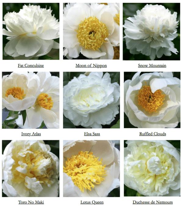 Variedades de peonias blancas