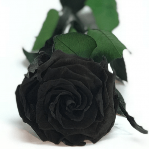 ROSA NEGRA PRESERVADA