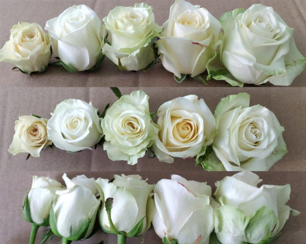 tamaño de rosas