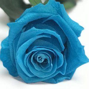 Rosa eterna de color azul turquesa