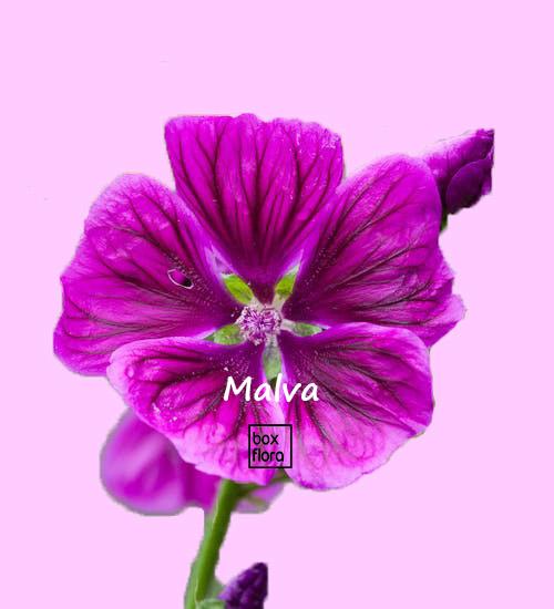 malva, planta muy medicinal