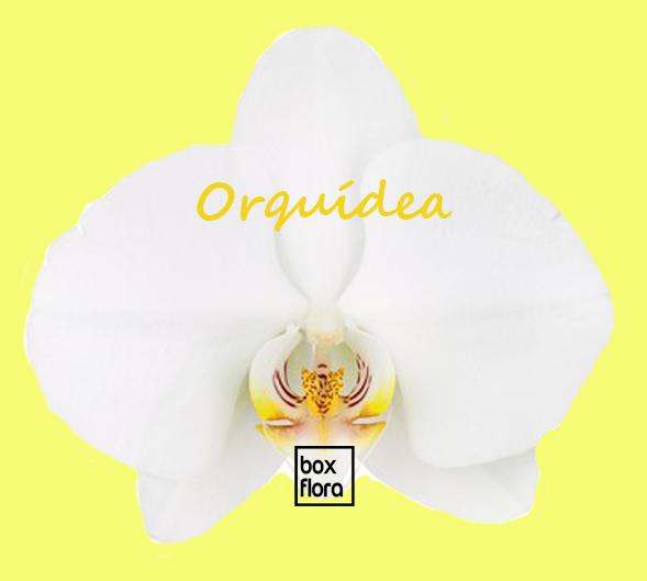 Orquidea-blanca
