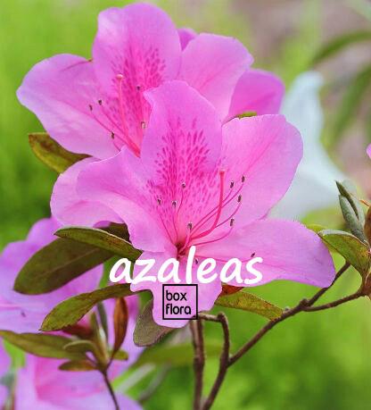 Azalea Cuidados Y Secretos De La Planta Boxflora