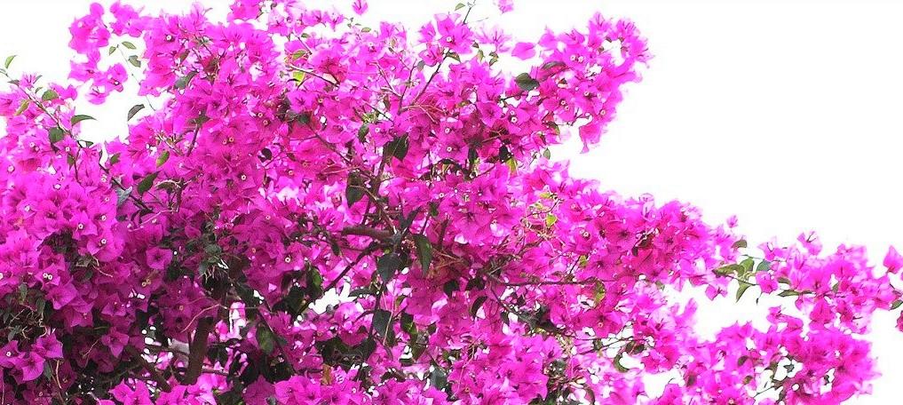 floracion-de-las-buganvillas