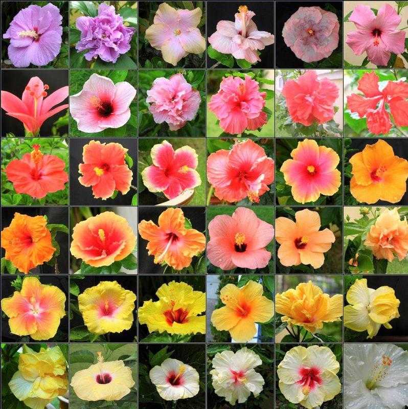 hibiscus-rosa-sinensis-todos-los-colores