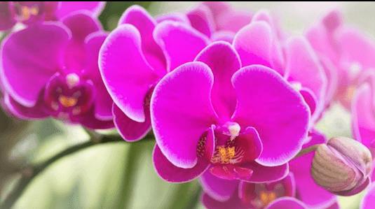 orquideas rosas