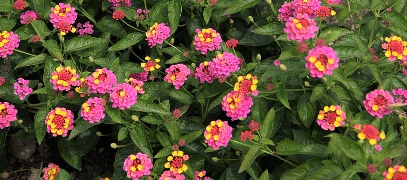 arbusto-de-Lantanas-rosas