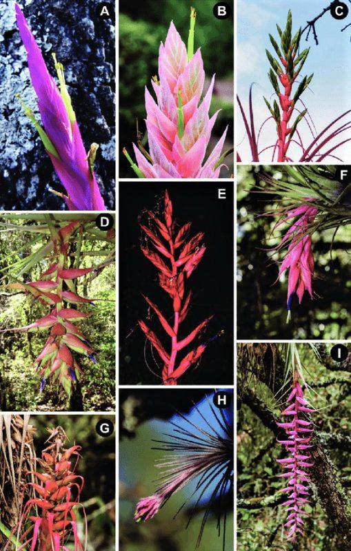 Bromelias-epifitas-variedades