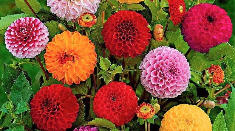 Dalia flor muy alérgica