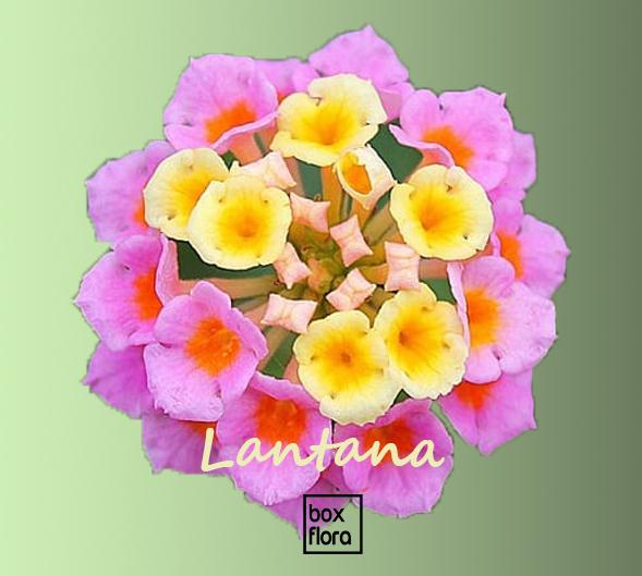 Lantana-camara-flor