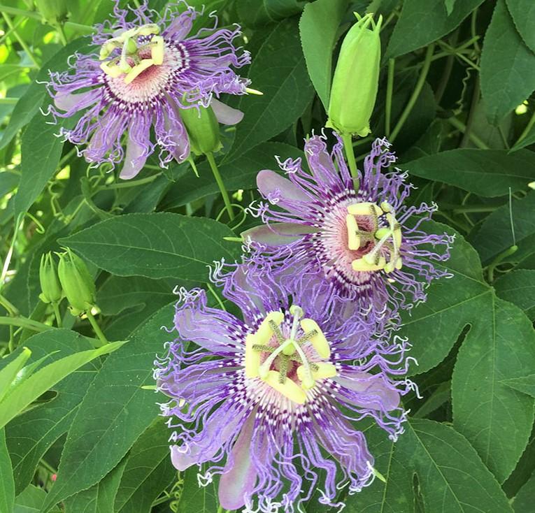 Passiflora-incarnata