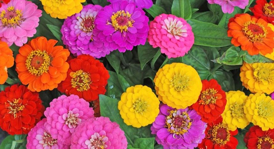 Zinnias-Flor-Papel-Propiedades