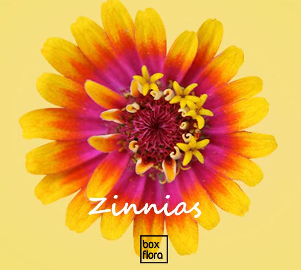 Zinnias