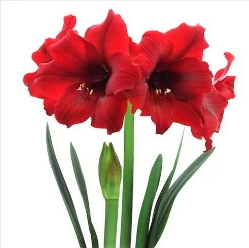 amarilis-rojo-oscuro