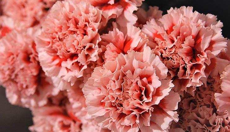claveles-rosas
