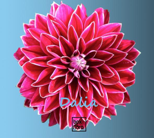 flor-dalia