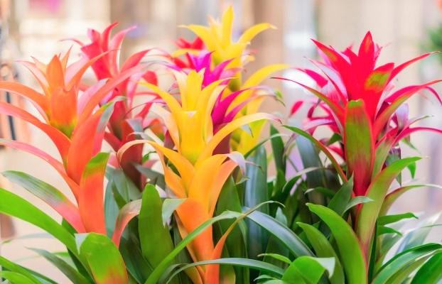 flores-bromelia-colorida