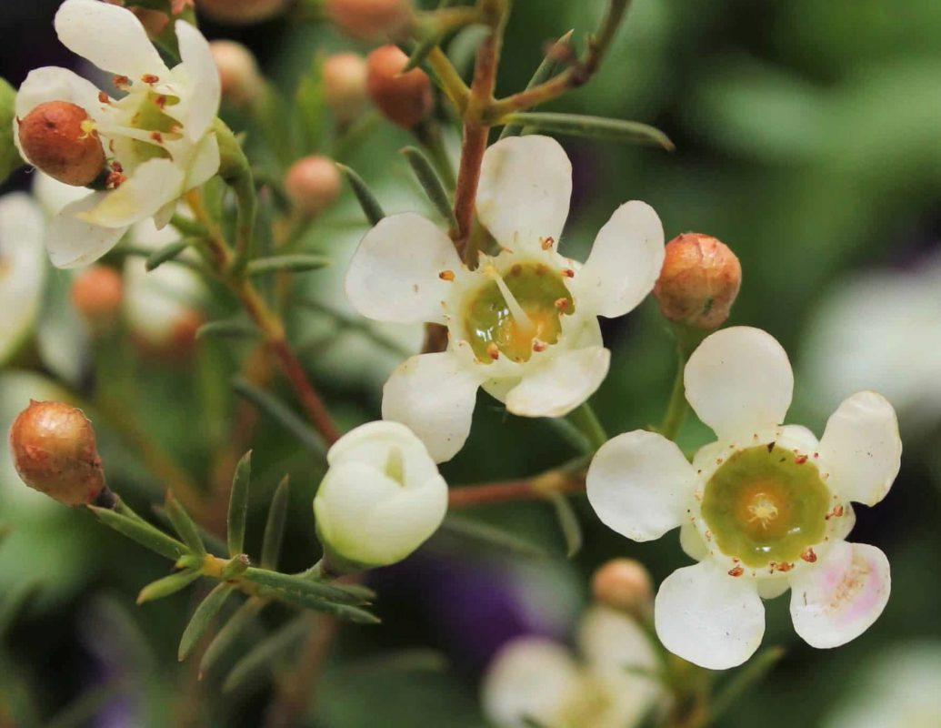 flores-de-cera