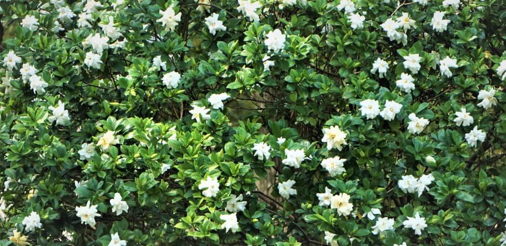 gardenia-vertical