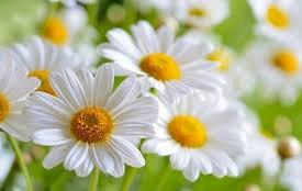 manzanilla-no-para alérgicos