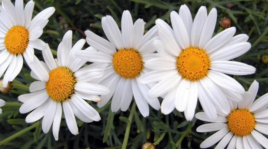 margaritas-blancas