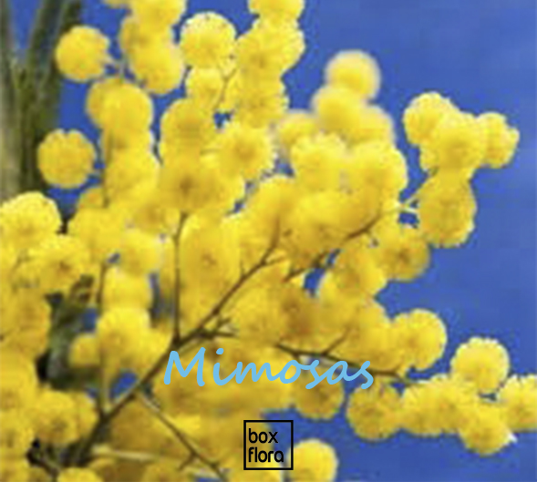 mimosa-flor
