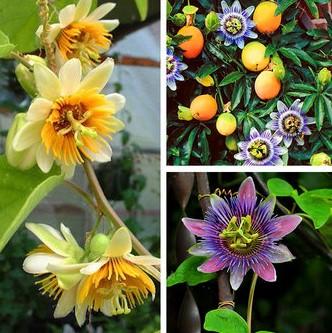 passiflora-variedades