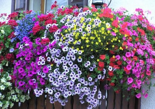 petunias-en-balcon