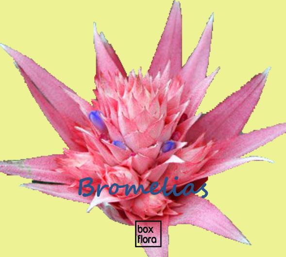 planta-bromelia