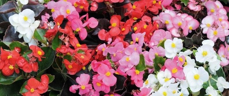 begonia-semperflorens-comestibles