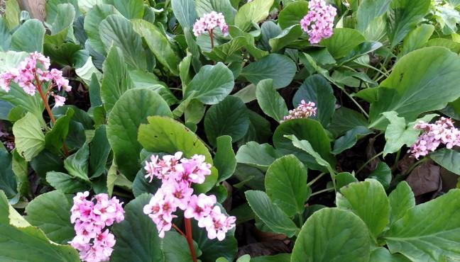 bergenias-la-hortensia-de-invierno