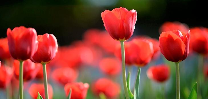 crisis-tulipanes
