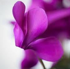 cyclamen-flor-de-invierno