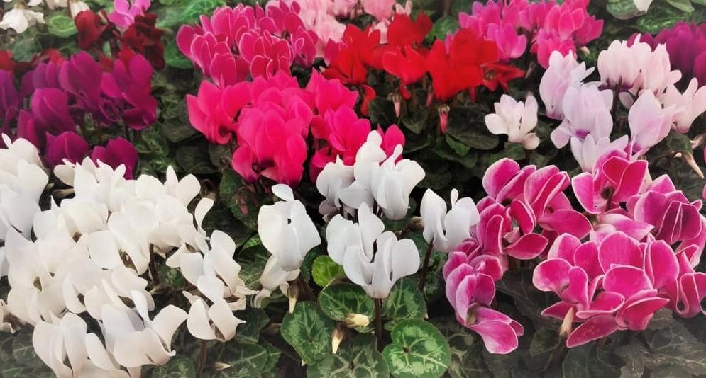 cyclamens-flores-de-invierno