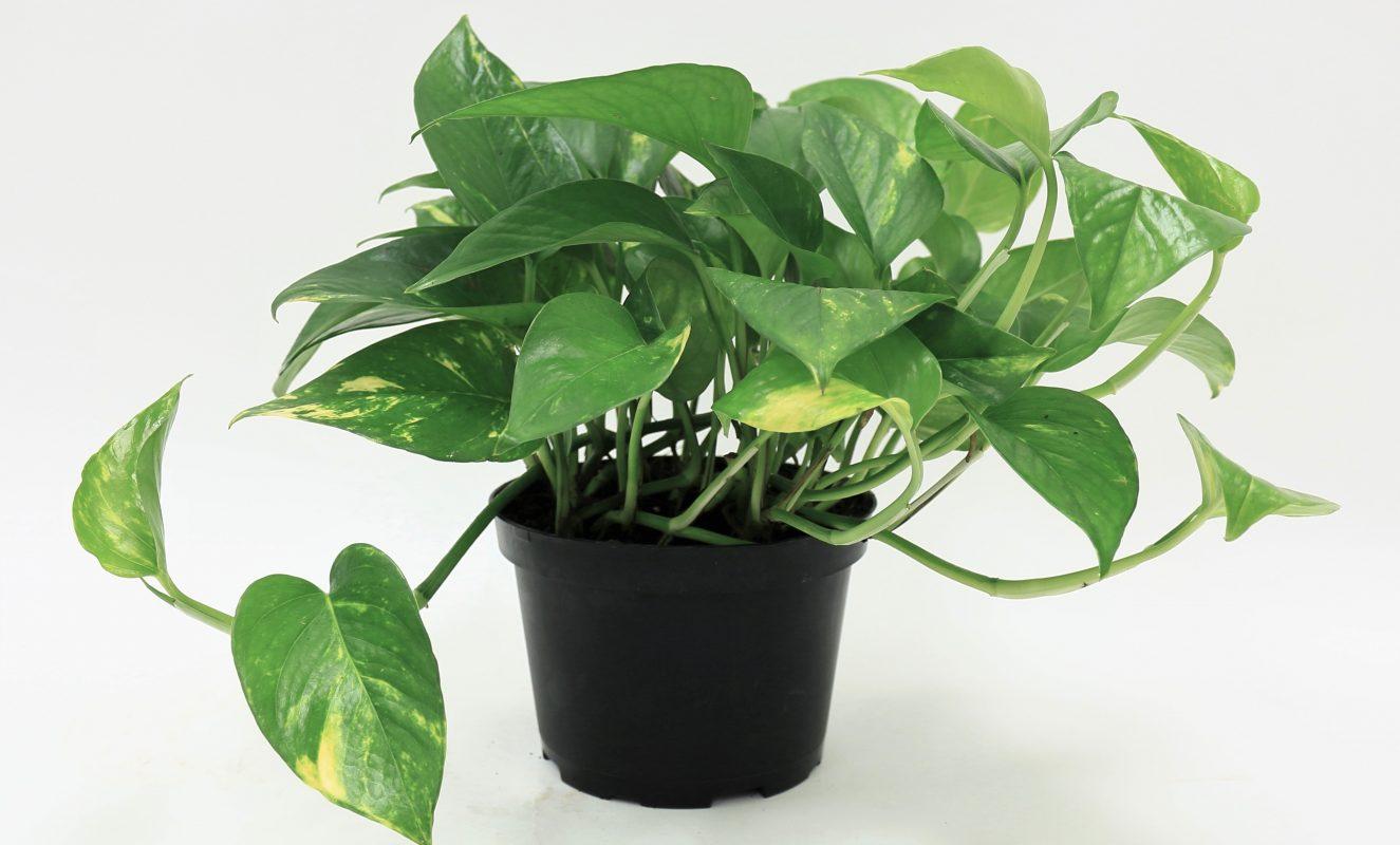 planta-poto