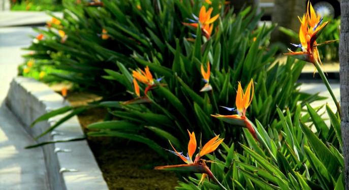 plantas-de-strelitzia