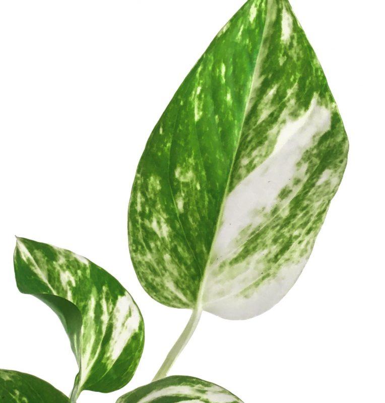 potus planta