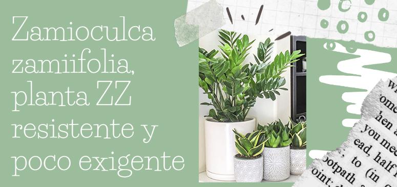 Zamioculca-zamiifolia